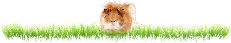 Guinea Pig Products